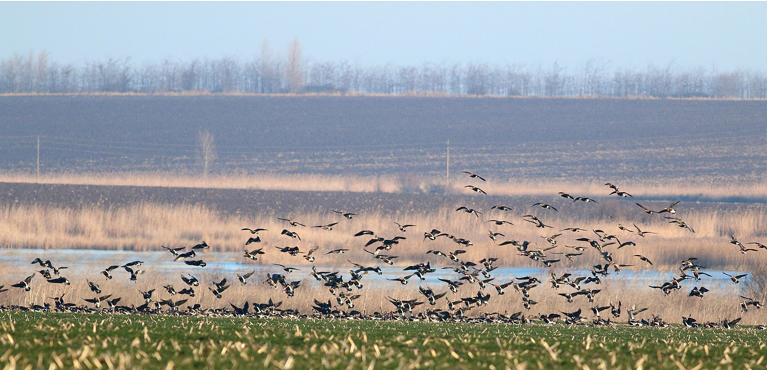 RBGeese_in a cereal field by Durankulak Lake