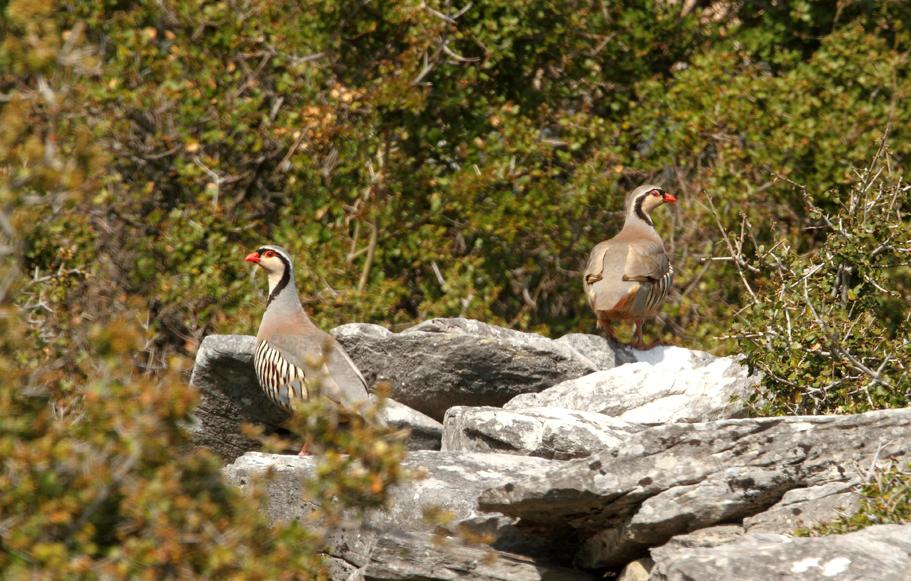 Rock Partridges by Eric Janssen