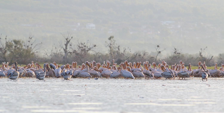 Great White Pelicans at Kerkini Lake by Dimiter Georgiev
